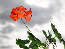 Schöne Pelargonien auf einem Hintergrund von Wolken Lizenzfreie Stockfotografie