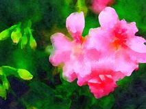 Schöne Pelargonien-Blume im Aquarell Stockbilder