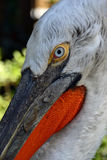 Schöne Pelikanaufstellung lizenzfreies stockfoto