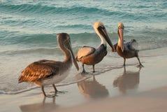 Schöne Pelikane durch das Meer bei Sonnenuntergang Varadero kuba stockfotografie