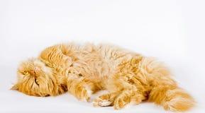 Schöne persische Katze Playfull, die oben schaut Lizenzfreie Stockfotografie