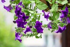 Schöne Petunie blüht im modischen ultravioletten Farb-, Vorgarten- oder Hinterhofgarten in hängendem Topf-, Portal- oder Patiosom Lizenzfreies Stockfoto