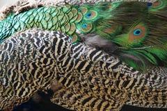 Schöne Pfau-Feder - Eleganz-Hintergrund - Vogel-Stolz Stockfotografie