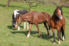 Schöne Pferde Stockfotografie