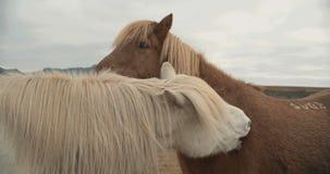 Schöne Pferde, die über den Bergen in Island weiden lassen stock video