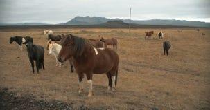 Schöne Pferde, die über den Bergen in Island weiden lassen stock video footage
