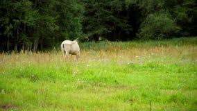 Schöne Pferde, die in der Wiese weiden lassen stock footage