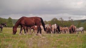 Schöne schöne Pferde, die in der Wiese weiden lassen Zwei Pferde stock video