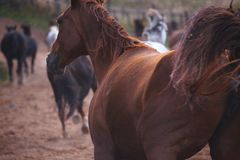 Schöne Pferde gehen in Natur in der untergehenden Sonne Lizenzfreie Stockfotografie