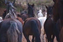 Schöne Pferde gehen in Natur in der untergehenden Sonne Lizenzfreies Stockbild