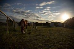 2 schöne Pferde Graze Texas Hill Country lizenzfreies stockbild