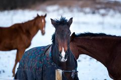 Schöne Pferde im Winter Stockfotografie
