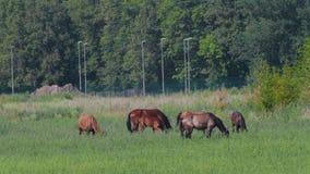 Schöne Pferde lassen in der Natur nahe dem Wald im Sommer weiden stock video