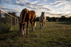 2 schöne Pferde in Texas Hill Country stockfotos