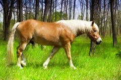 Schöne Pferdenlebensdauern frei im Holz. Lizenzfreies Stockfoto