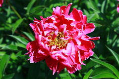 Schöne Pfingstrosenblume auf natürlichem grünem Hintergrund Lizenzfreie Stockfotografie