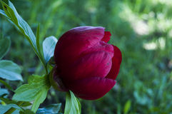 Schöne Pfingstrosenblume im Garten Lizenzfreie Stockfotografie