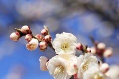 Schöne Pflaumenblüte Lizenzfreies Stockfoto