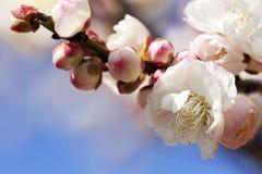 Schöne Pflaumenblüte Lizenzfreie Stockbilder