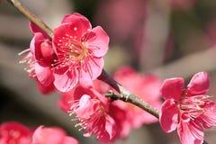 Schöne Pflaumenblüte Stockbilder