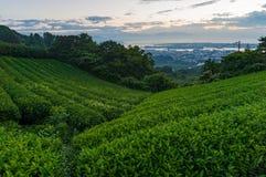 Schöne Plantage des grünen Tees auf Sonnenaufgang Lizenzfreies Stockbild