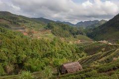 Schöne Plantage des grünen Tees im Doi ANG Stockbild