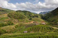 Schöne Plantage des grünen Tees im Doi ANG Stockfoto