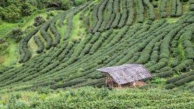 Schöne Plantage des hoher Gebirgsgrünen Tees lizenzfreies stockfoto