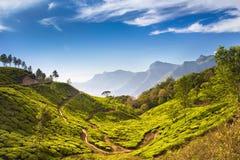 Schöne Plantagen des grünen Tees Stockfotografie