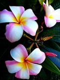 Schöne Plumeria-Blumen ist multiculor lizenzfreies stockbild