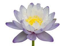 Schöne purpurrot-weiße Lotosblume lokalisiert auf weißem Hintergrund Stockfoto