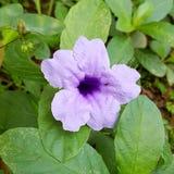 Schöne purpurrote Blume Lizenzfreies Stockfoto