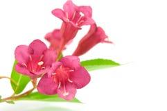 Schöne purpurrote Blume auf Weiß Stockbilder