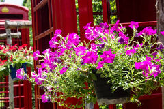 Schöne purpurrote Blume mit Telefonkasten Lizenzfreie Stockfotos