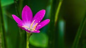 Schöne purpurrote Blume nach dem Regen Lizenzfreies Stockfoto