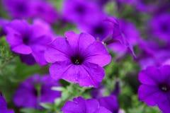 Schöne purpurrote Blumen Lizenzfreies Stockfoto