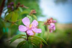 Schöne purpurrote Blumen in der Blüte, Nahaufnahme Stockfotografie