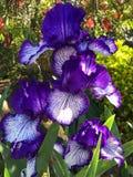 Sch?ne purpurrote Blumen im Fr?hjahr lizenzfreie stockfotografie