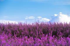 Schöne purpurrote Blumen und blauer Himmel Lizenzfreie Stockbilder