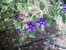 Schöne purpurrote Blumen unter grünen Blättern Lizenzfreie Stockbilder