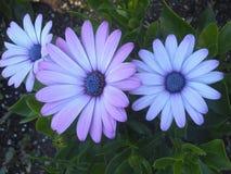 Schöne purpurrote Daisy Flowers At Park Garden stockbild