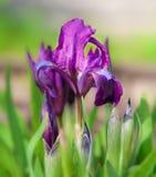 Schöne purpurrote Frühlings-Blenden-Blumen Lizenzfreie Stockbilder