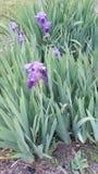 Schöne purpurrote Iris Lizenzfreie Stockfotos