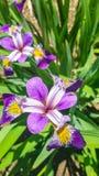 Schöne purpurrote Irisblume der Draufsicht im Garten Stockfoto