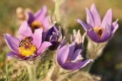 Schöne purpurrote kleine Pelzpasqueblume (Pulsatilla grandis) blühend auf Frühlingswiese bei dem Sonnenuntergang Lizenzfreies Stockfoto