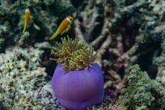 Schöne purpurrote lebendige Koralle mit gelben kleinen Fischen herum im Ozean bei Malediven Stockfotos