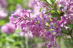 Schöne purpurrote lila Blüten Stockbild