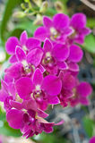 Schöne purpurrote Orchidee Stockfotos
