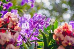 Schöne purpurrote Orchideenblumen auf einer Niederlassung in einem Garten von Orchideen schließen oben Stockfoto