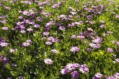 Schöne purpurrote Osteospermum-Blumen im Garten Lizenzfreie Stockfotografie